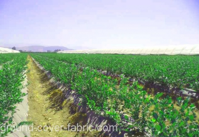 Cranberry cultivation with groundcover protection