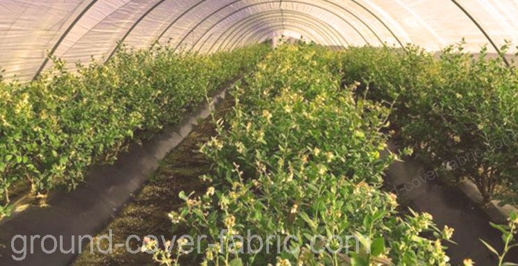 cranberry in greenhouse with ground cover fabric