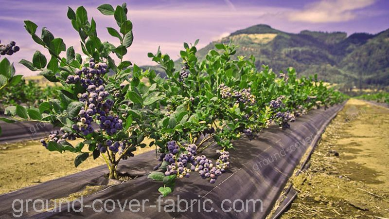 berries growing without weeds thanks to ground cover fabric MALAHIERBA