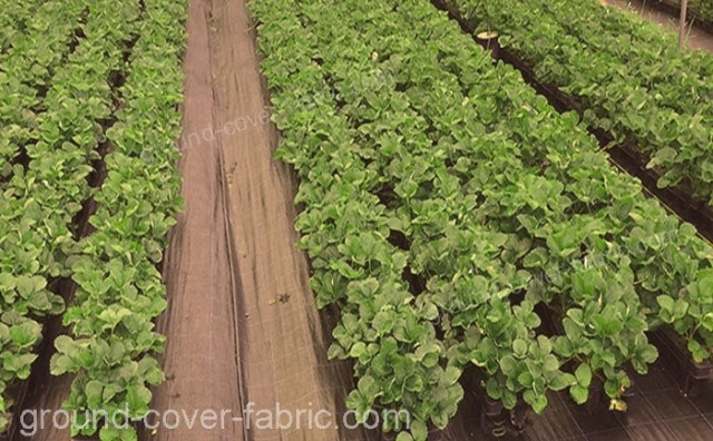 Ground Cover Fabric Anti-Weed Protection on cultivation